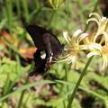写真: 彼岸花にモンキアゲハ蝶