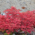 写真: ナナカマドの紅葉