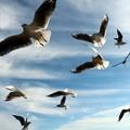 写真: 大空を舞うユリカモメ