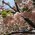 里桜 満開  1