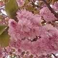 写真: 八重桜 4月27日