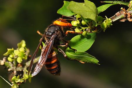 スズメバチ科 コガタスズメバチ♀