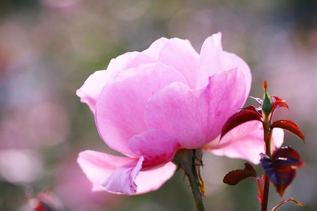 写真: 薔薇、クイーン・エリザベス