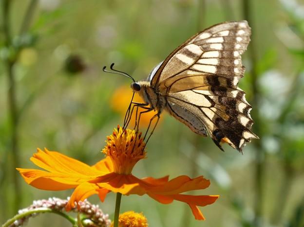 キバナコスモスのアゲハチョウ