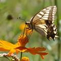 写真: キバナコスモスのアゲハチョウ