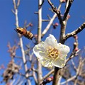写真: 梅と蜂
