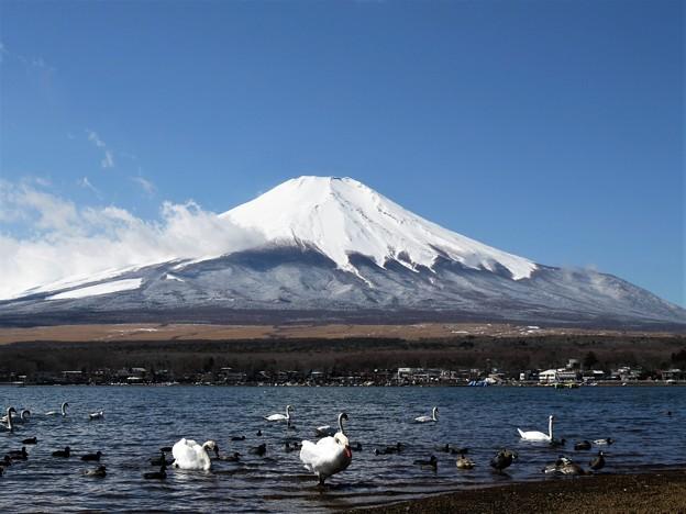 写真: 渡り鳥と富士