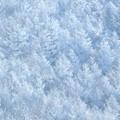 写真: 白き森。