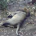 写真: インドライオンのオス