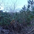 写真: 稜線に出ようとしてハイマツに阻まれる