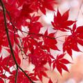 写真: DSC_0992紅葉