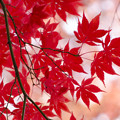 Photos: DSC_0992紅葉