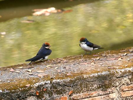 ハリオツバメ(Wire-tailed Swallow) P1170143_R