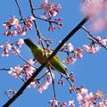 写真: アカハラコノハドリ(Orange-bellied Leafbird) P1120726_RS
