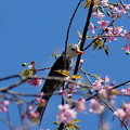 クロヒヨドリの亜種(Sub-species of Black Bulbul) P1120687_RS