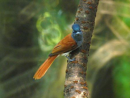 カワリサンコウチョウ(Asian Paradise-flycatcher) P1070670_R