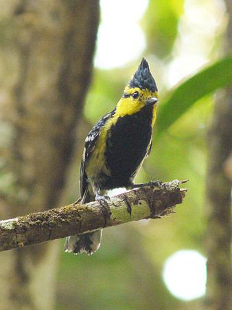 セボシカンムリガラ(Yellow-cheeked Tit) P1070968_R