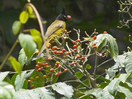 エボシヒヨドリ(Black-crested Bulbul) P1120736_R