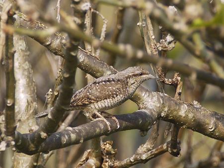 アリスイ(Eurasian Wryneck) P1260454_R