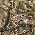 写真: アリスイ(Eurasian Wryneck) P1260454_R
