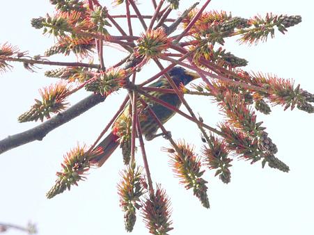 オオゴシキドリ(Great Barbet) P1240251_R2