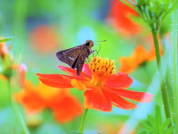 写真: 秋色セセリン♪