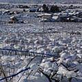 写真: 雪をかぶる呉羽の梨畑