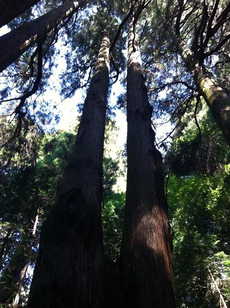くしふる神社の杉