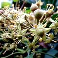 写真: キヅタの花
