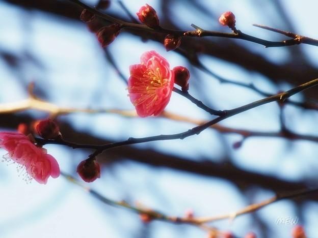 写真: 梅の匂い?? **??(。?ˇ∀ˇ?人)??**