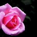 写真: 薔薇の季節