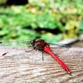 写真: 翅を取ったら唐辛子