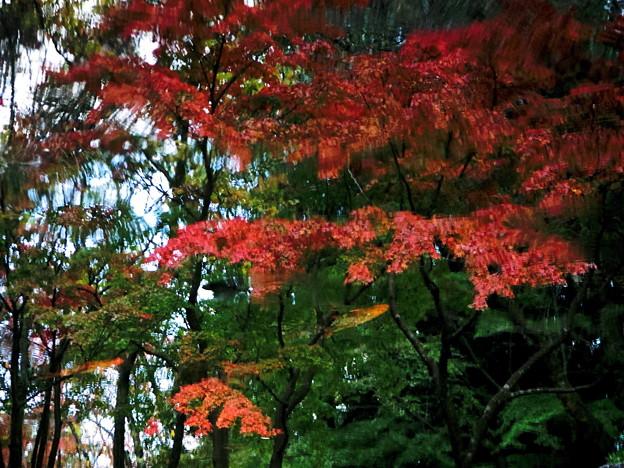 写真: 紅葉を泳ぐ