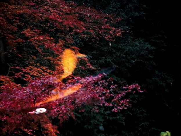 紅葉の中を泳ぐ2