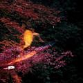 写真: 紅葉の中を泳ぐ2