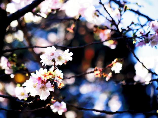 桜も咲き誇る