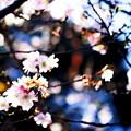 写真: 桜も咲き誇る
