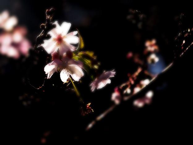 写真: 待ち遠しい桜