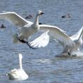 大池の白鳥2015年