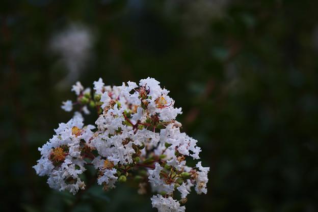 長月の花1
