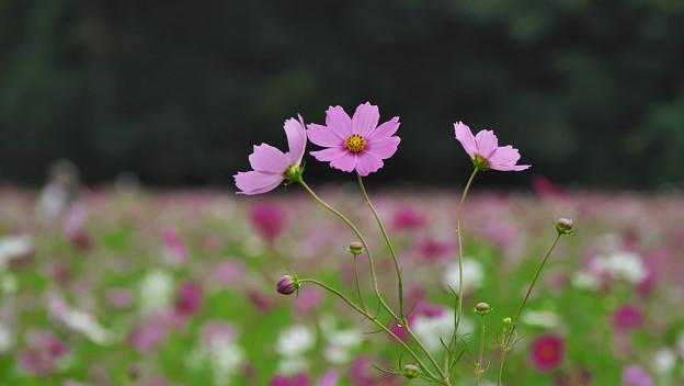 秋桜7-1