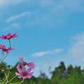 秋桜9-4