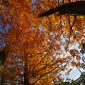写真: メタセコイヤ6-2