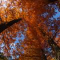 写真: メタセコイヤ6-3