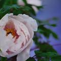 写真: 冬牡丹8-1