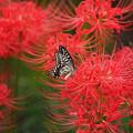 曼殊沙華とアゲハ蝶