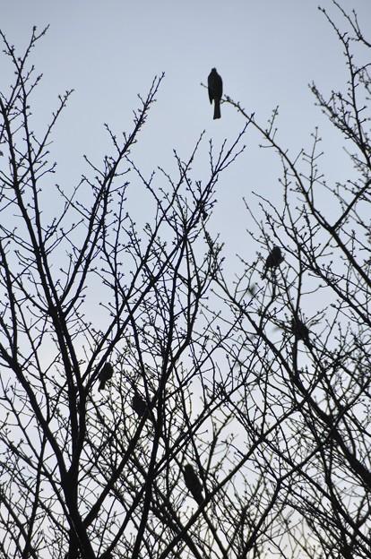 枯木にヒヨドリ