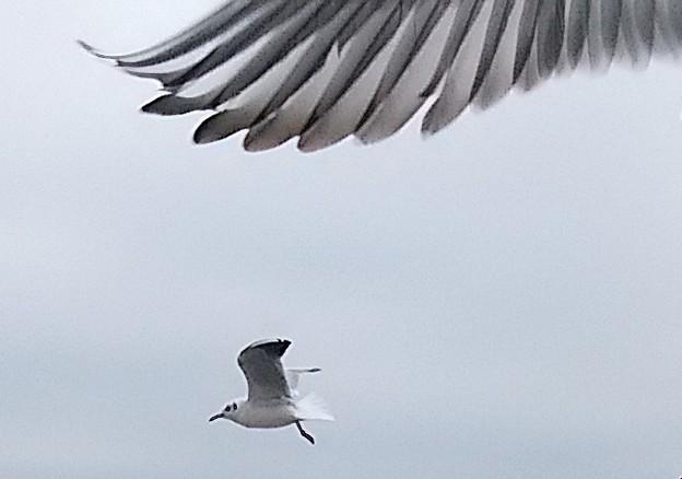 写真: カモメ飛ぶ     3