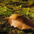 落ち葉 朝日を浴びてかがやく落ち葉