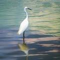 写真: 夏の思い出 白鷺